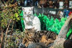 Gatos listrados brancos e marrons Imagem de Stock
