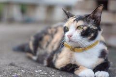 Gatos mezclados tricolores foto de archivo