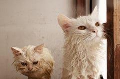 Gatos mojados Imágenes de archivo libres de regalías