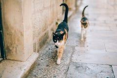 Gatos na cidade velha de Budva, Kotor, Dubrovnik Croácia e segunda-feira Fotos de Stock