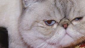 Gatos na exposição video estoque