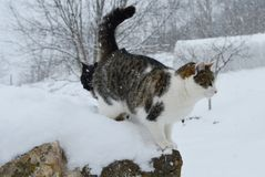 Gatos na neve Foto de Stock Royalty Free