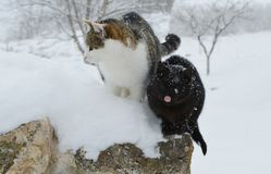Gatos na neve Imagens de Stock