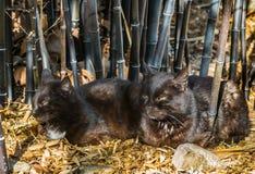 Gatos negros Imagen de archivo libre de regalías