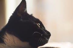 Gatos negros con los bigotes grandes Imágenes de archivo libres de regalías