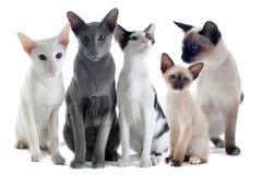 Gatos orientais e siamese Foto de Stock Royalty Free