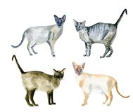 Gatos orientales del shorthair fotos de archivo libres de regalías