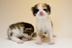 Gatos pequenos Imagens de Stock