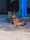Gatos pequenos que bebem o mommy& x27; s imagem de stock