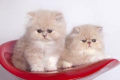 Gatos persas Foto de archivo