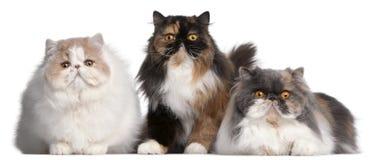 Gatos persas Fotografía de archivo