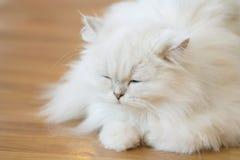 Gatos persas blancos Imagenes de archivo