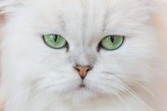 Gatos persas blancos Fotografía de archivo libre de regalías