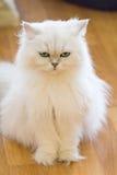 Gatos persas blancos Fotos de archivo libres de regalías