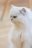 Gatos persas blancos Foto de archivo libre de regalías