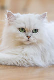 Gatos persas blancos Imágenes de archivo libres de regalías