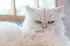 Gatos persas blancos Imagen de archivo