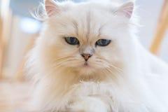 Gatos persas blancos Foto de archivo