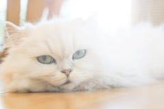 Gatos persas blancos Fotografía de archivo