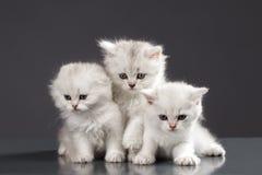 Gatos persas blancos del gatito Fotos de archivo