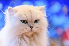 Gatos persas brancos Fotos de Stock Royalty Free