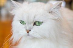 Gatos persas brancos Foto de Stock
