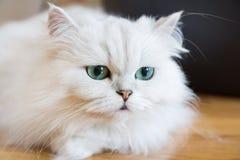 Gatos persas brancos Imagem de Stock