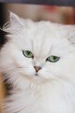 Gatos persas brancos Fotografia de Stock Royalty Free