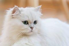 Gatos persas brancos Imagens de Stock Royalty Free