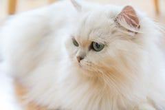 Gatos persas brancos Imagem de Stock Royalty Free