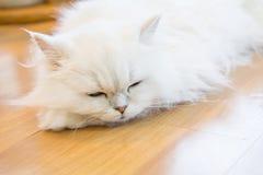Gatos persas brancos Imagens de Stock