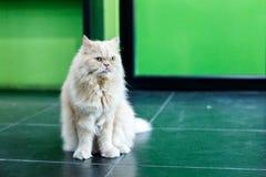 Gatos persas brancos bonitos no assoalho Fotos de Stock Royalty Free