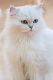 Gatos persas de WWhite Foto de archivo libre de regalías