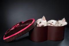 Gatos persas del gatito Foto de archivo