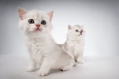 Gatos persas del gatito Imagenes de archivo