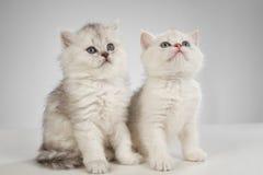 Gatos persas del gatito Imagen de archivo libre de regalías