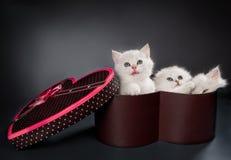 Gatos persas do bichano Fotos de Stock Royalty Free
