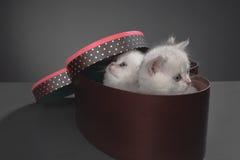 Gatos persas do bichano Imagem de Stock