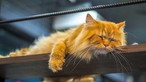 Gatos persas que dormem no mezanino Imagem de Stock