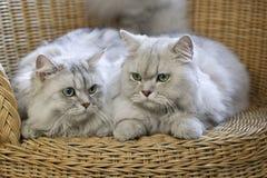 Gatos persas que presentan en silla de mimbre Imágenes de archivo libres de regalías