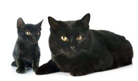 Gatos pretos Foto de Stock Royalty Free