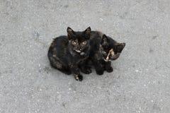 Gatos pretos Imagem de Stock