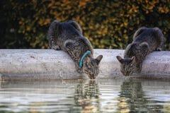Gatos que bebem em uma fonte imagem de stock royalty free