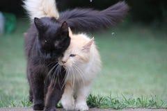 Gatos que caminan junto oro blanco y negro Fotografía de archivo libre de regalías