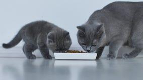 Gatos que comen el alimento para animales almacen de video
