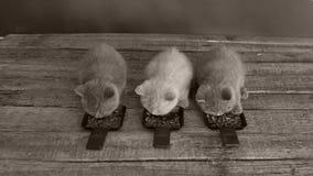 Gatos que comen el alimento para animales de las bandejas metrajes