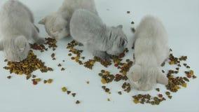 Gatos que comen el alimento para animales, fondo blanco almacen de metraje de vídeo