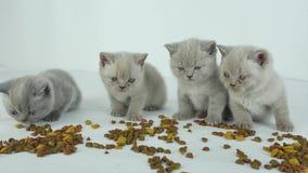 Gatos que comen el alimento para animales, fondo blanco almacen de video