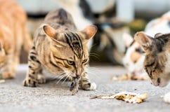 Gatos que comen un pescado Imagen de archivo libre de regalías