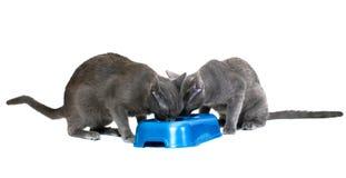 Gatos que comparten el alimento Foto de archivo
